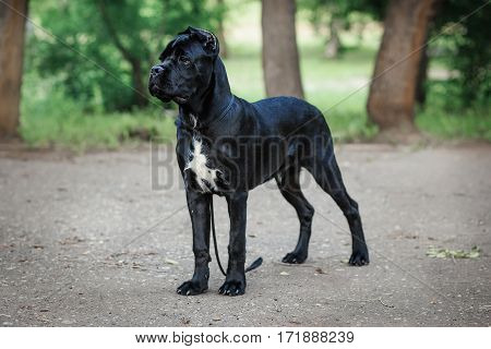 Puppy Cane Corso Black Color On The Background Of Nature