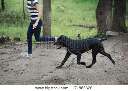 Handler With A Dog Cane Corso Italian Mastiff