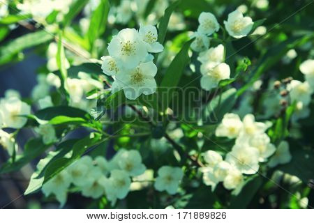 The White Flowers Of The Jasmine Shrub Closeup