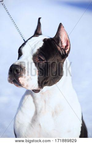 American Staffordshire Terrier Stay In The Snow