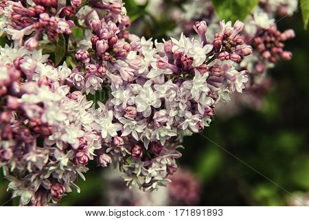 Pink With White Lilac Branch On Background Of Natural Greenery
