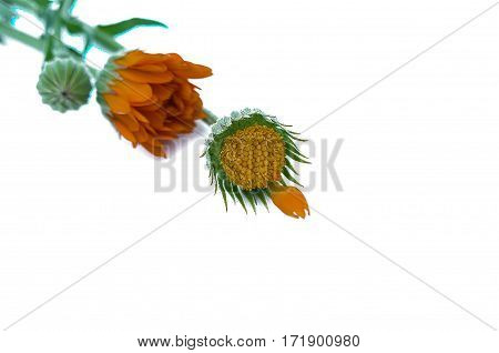 Yellow marigolds with zeoenymy leaves on a white background