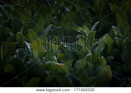 Closeup of two leaves in a dark green privet hedge with rain drops hanging off them