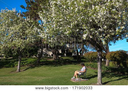 Woman seated on bench reading a book under blooming ornamental pear trees