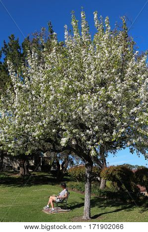 Woman seated on bench reading a book under a blooming ornamental pear tree