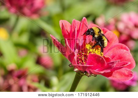 A bumblebee rising up on its hind legs on a red zinnia flower