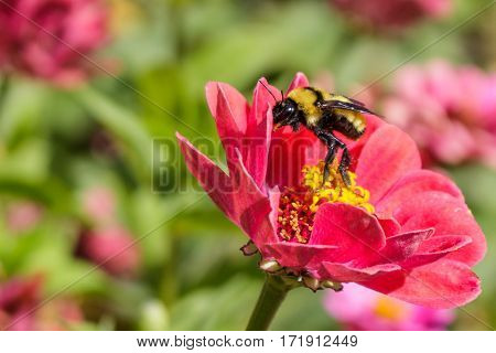 A beautiful bumblebee rising up on its hind legs on a red zinnia flower