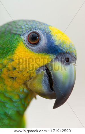 Amazon green parrot portret close up head