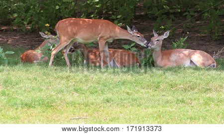 Deer Kissing Another Deer in Natural Setting Daytime
