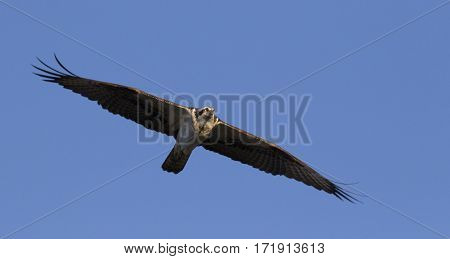 Osprey with his wings spread while soaring