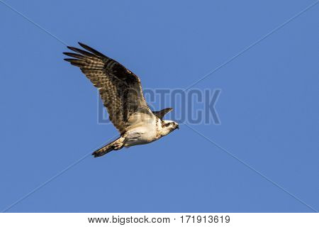 Osprey flying over lake while hunting for fish