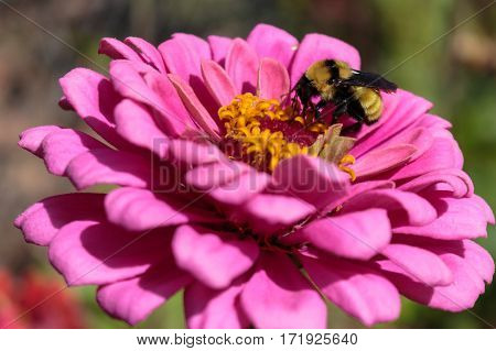 A bumblebee feeding on a pink zinnia flower with its proboscis