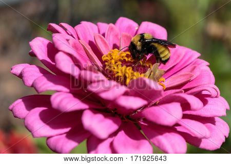 A bumblebee feeding intently on a pink zinnia flower