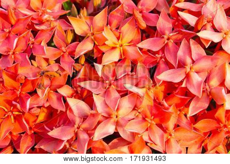 The red Ixora background in the garden