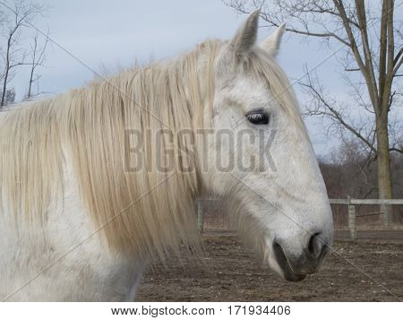 A white mare stands in the barnyard for horses on a winter day in southeastern Michigan.