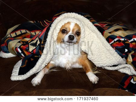 a small Chihuahua peeks out from under a colorful blanket