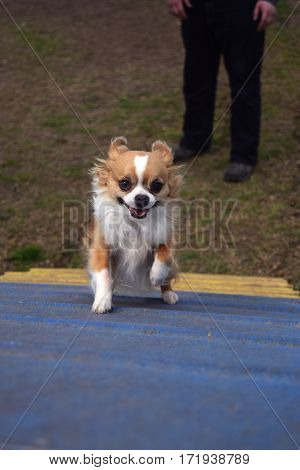 a small red and white Chihuahua dog runs enthusiastically up a ramp