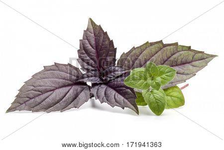 Close up studio shot of fresh red basil and oregano herb leaves isolated on white background. Purple Dark Opal Basil.