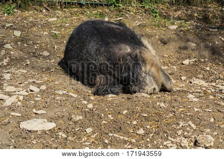 European wild boar in the mud in the warm summer sun lying.