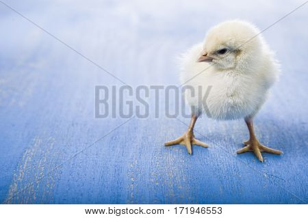 Fluffy Little Yellow Chicken  On A Blue Wooden Background.