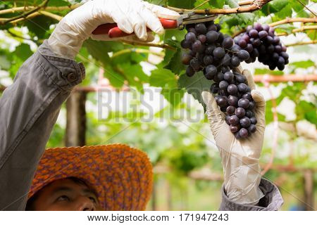 Farmer in his vineyard checking and protecting his products grape fruit in Farm and product for wine