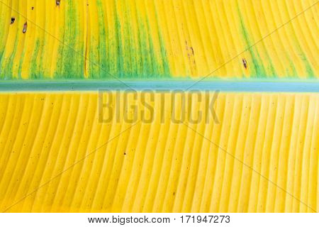 A yellow banana leaf background with lines