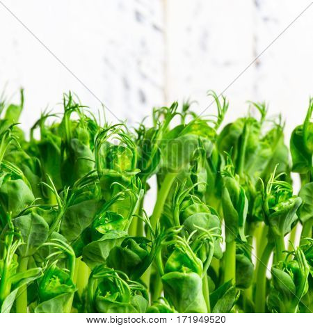Pea Green Young Tendril Plants Shoots In Growing Container