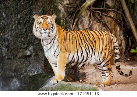 Portrait of the tiger in zoo animal