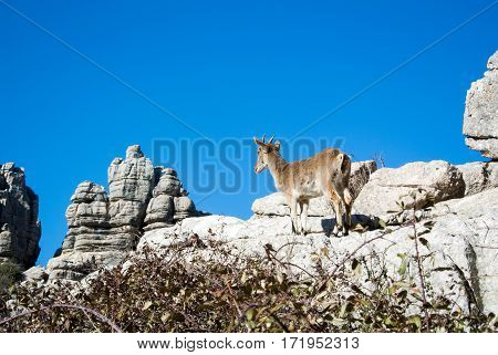 A wild goat at natural park El Torcal de Antequera in Malaga province Spain.