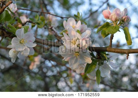 Branch	of the flowering apple-tree in the morning light