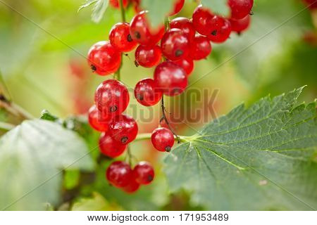 nature, botany, gardening and flora concept - red currant bush at summer garden branch