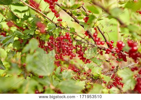 nature, botany, gardening and flora concept - red currant berries on branch at summer garden