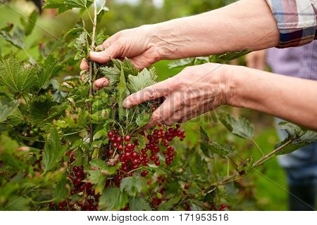 farming, gardening and people concept - senior woman harvesting red currant at summer garden