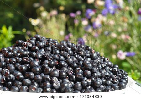 Organic blueberry in beautiful garden background. Vaccinium myrtillus is a species of shrub with edible fruit of blue color commonly called bilberry whortleberry huckleberry or European blueberry.