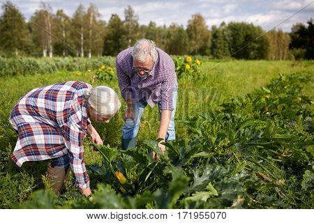 farming, gardening, agriculture, harvest and people concept - happy senior couple on squash garden bed at farm