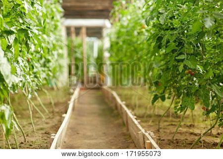 vegetable, gardening and farming concept - tomato seedlings growing at greenhouse