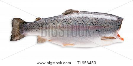 Fresh trout isolated on a white background