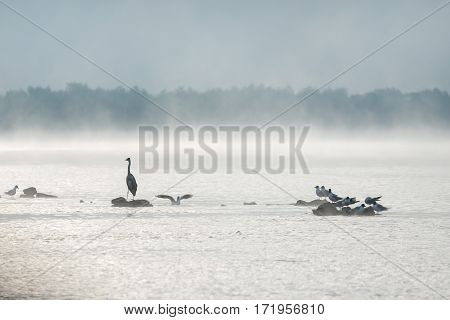 Heron and gulls on a misty lake. Early summer morning.