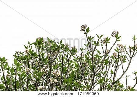 Tree (plumeria) Isolated On White Background