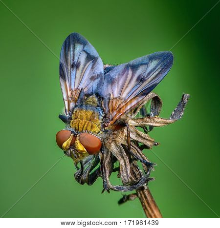 Tahina fly sits on the bud of dried plants