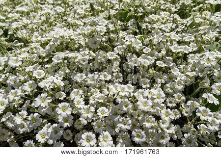 Wild white flowers on a sunny day. Shallow depth of field, top view