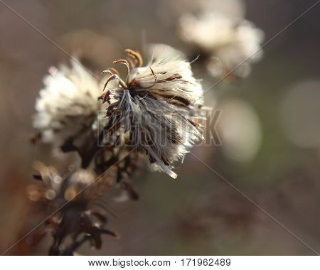 The fluffy seedheads of the plant Aster novi-belgii, back lit by the sun on a winters morning.