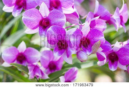 Purple phalaenopsis orchid flower in a garden