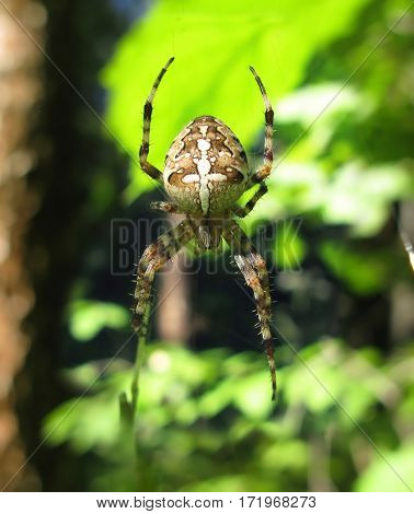 ornamented spider with the pcture of cross on his back on green background