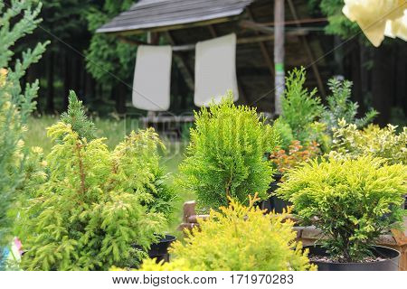 Coniferous plants in pots on background of old wooden garden house