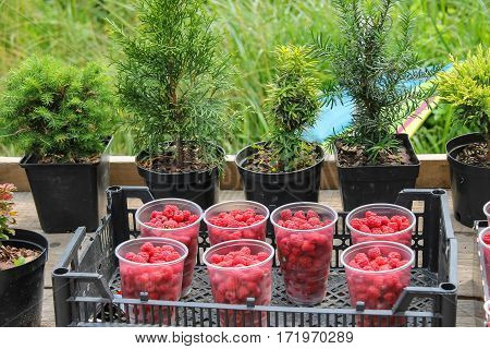 Plastic cups with raspberries in box on background of plant pots