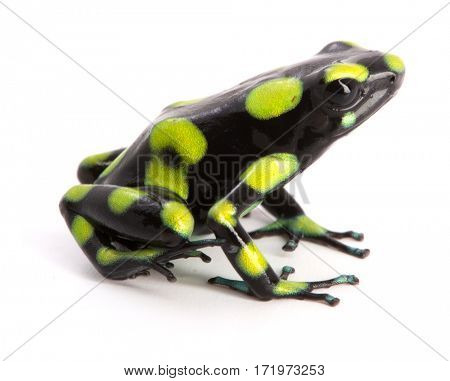 Dendrobates auratus, a poison dart frog from the rain forest of Colombia isolated on a white background.