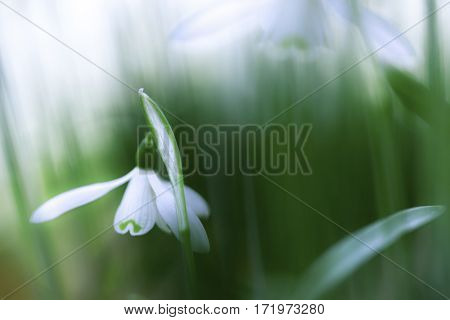 snow drops early spring white wild flower, Galanthus nivalis. Wildflower abstract symbol of purity serenity and fragility. soft focus