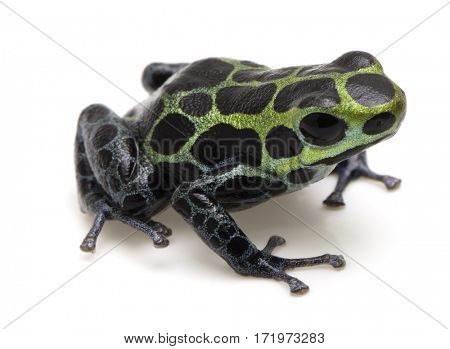Poison dart frog, Ranitomeya variabilis. Macro of a beautiful rain forest animal from the Amazon jungle of Peru. Isolated on a white background.