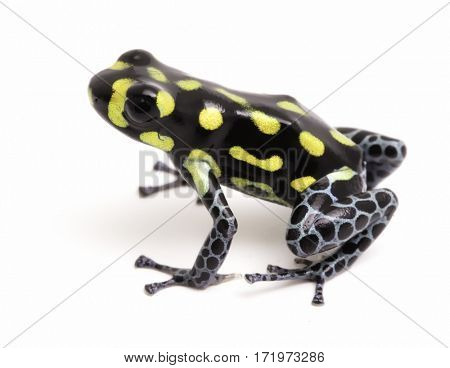 Yellow dotted poison dart or arrow frog, Ranitomeya vanzolinii. A small poisonous rain forest animal fwith warning colors. Isolated on white background.